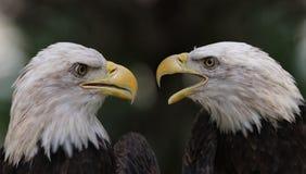 De Kale Eagle-controverse royalty-vrije stock afbeeldingen