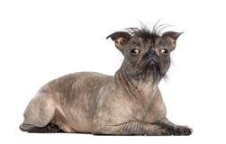 De kale hond van het mengen-Ras, mengeling tussen een Franse buldog en een Chinese kuifhond die, die en de camera liggen bekijken Royalty-vrije Stock Afbeeldingen