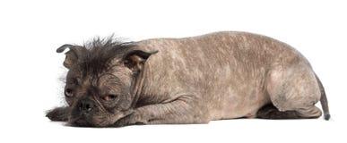 De kale hond van het mengen-Ras, mengeling tussen een Franse buldog en een Chinese kuifhond, droevige liggen en blikken Royalty-vrije Stock Afbeelding