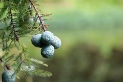 De kale Zaden van de Cipresboom in de herfst royalty-vrije stock afbeelding