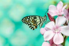 De kalkvlinder (Papilio-demoleus) stock afbeeldingen