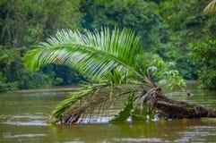 De kalme en magische donkere die wateren van Amazonië, in het regenwoud van Amazonië met een palminstallatie worden gevestigd in  Royalty-vrije Stock Afbeeldingen