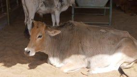 De kalme koeien liggen en bevinden zich op het zand onder luifel stock video