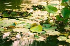 De kalme vijver van Lotus bij zonsondergang Royalty-vrije Stock Foto