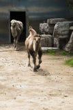 De kameel Royalty-vrije Stock Afbeelding