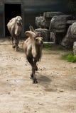 De kameel Royalty-vrije Stock Fotografie