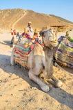 De kameel Stock Afbeeldingen