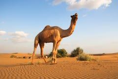 De kameel Royalty-vrije Stock Afbeeldingen