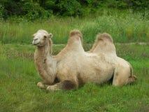 De kameel Stock Afbeelding