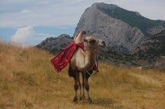 De kameel bevindt zich op een droog geel gras stock foto