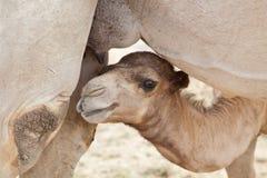 De kameel die van de baby melk zoekt Stock Foto