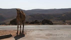 De kameel die van Salalaoman zich op weg bevinden stock videobeelden