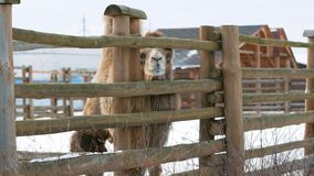De kameel kijkt uit van onder de omheining stock video