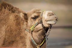 De kameel met ketting op gezicht Royalty-vrije Stock Afbeelding