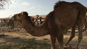 De kameel op het landbouwbedrijf eet hooi stock videobeelden
