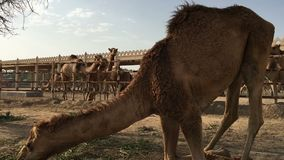 De kameel op het landbouwbedrijf eet hooi stock video