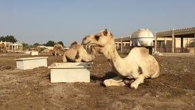De kameel op het landbouwbedrijf eet hooi stock footage