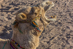 De kameel opent uw mond Stock Afbeeldingen