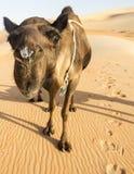 De kameel plakt zijn gezicht in de camera stock afbeelding