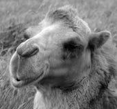 De kameel is ungulate stock afbeelding