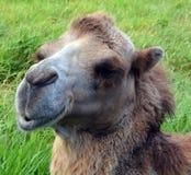 De kameel is ungulate stock foto's