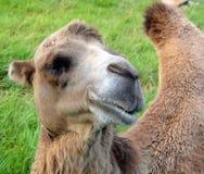 De kameel is ungulate royalty-vrije stock afbeeldingen