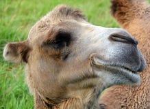 De kameel is ungulate royalty-vrije stock afbeelding