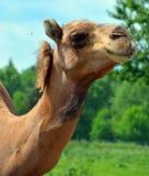 De kameel is ungulate binnen de soort Camelus royalty-vrije stock foto