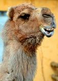 De kameel is ungulate binnen de soort Camelus stock foto