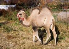 De kameel van de baby Stock Fotografie