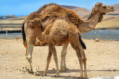 De kameel van de baby dichtbij moederkameel royalty-vrije stock foto