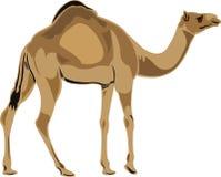 De kameel van de dromedaris Stock Foto's