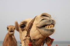 De kameel van de dromedaris stock afbeelding