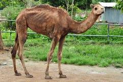 De kameel van de dromedaris Stock Fotografie