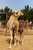 De kameel van de moeder Royalty-vrije Stock Afbeeldingen