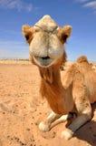 De kameel van de zitting in de woestijn Stock Foto