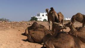 De kameel van Salalaoman met het inbouwen van achtergrond stock video