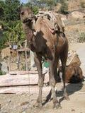 De kameel wacht geduldig Stock Afbeelding