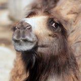 De kameel ziet eruit Stock Foto's