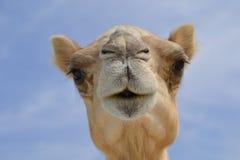 De kameel ziet eruit Stock Afbeelding