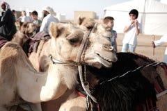 De kameel zit op zijn knieën, woestijn in Verenigde Arabische Emiraten, Abu Dhabi, Januari, 2019 royalty-vrije stock foto