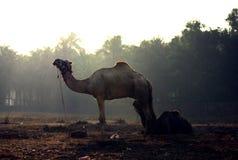 De kameelstijging en glanst Stock Afbeelding