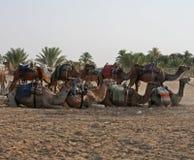 De kamelen Royalty-vrije Stock Foto's