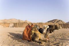 De kamelen Stock Afbeelding