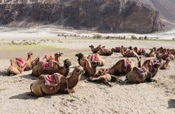 De kamelen wachten op toerist Stock Foto