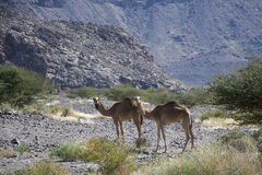 De kamelen in woestijn Oman sluiten Royalty-vrije Stock Foto's