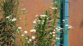 De kamille, de madeliefjes en andere die wildflowers groeien op achtergrond met vegetatie oude roestige metaal poorten en het sli stock video