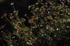 De kamille van het bloemengebied na de regen in de stralen van de het plaatsen zon leidt tot originele texturen Royalty-vrije Stock Afbeelding