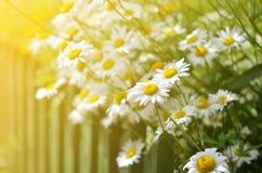 De kamillebloesems van de zomerbloemen op weide Stock Foto