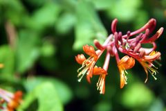 De kamperfoelie bloeit close-up royalty-vrije stock foto